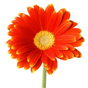 bright orange daisy