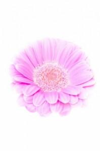 pink flower white background