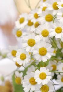 white-daisies